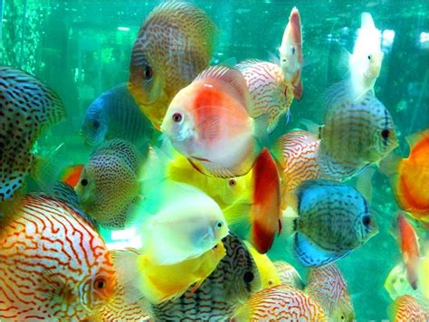 types of aquarium fish discus the life of animals