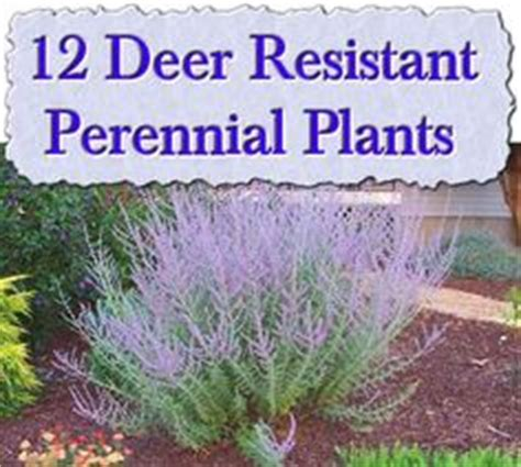 pin by mike wilczynski on deer resistant plants pinterest deer resistant plants and shrubs list printing