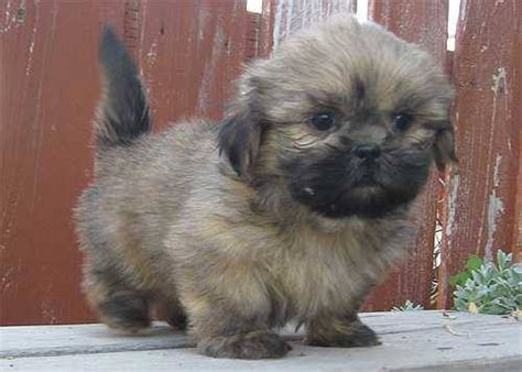 shih tzu puppies black and brown 114 best images about shih tzu on dogs for sale puppys and 6 month olds