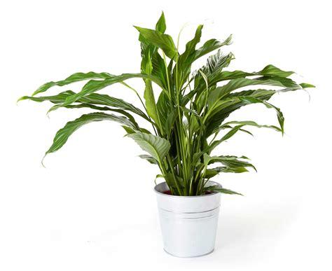 plantas interior planta spatifilium regalos plantas de interior
