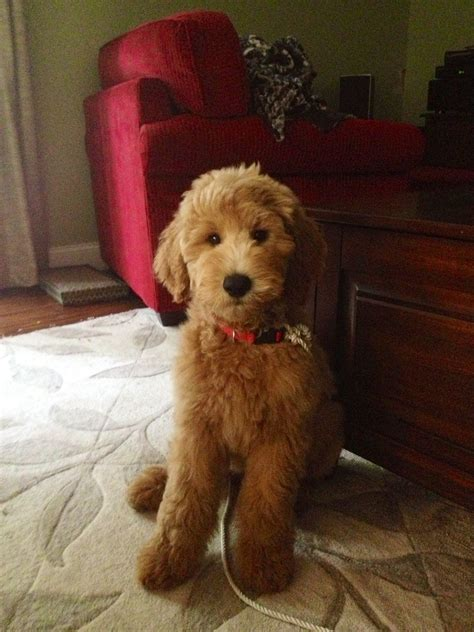 goldendoodle puppy grooming goldendoodle things i need goldendoodle