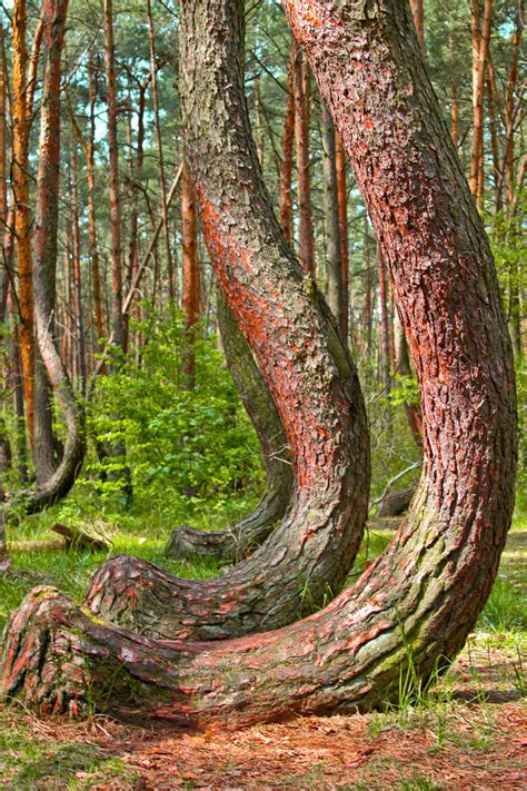 crooked timber of a boat crooked forest poland world travel