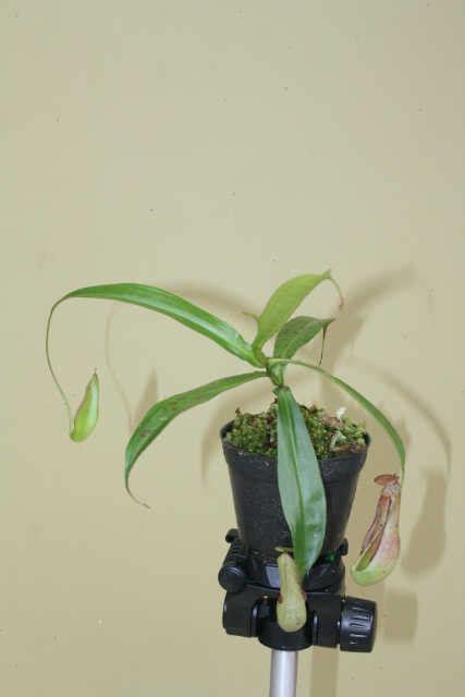 Tanaman Hias Kantong Semarnepenthes Mirabilis Hijau tanaman nepenthes x neglecta hijau semburat merah bibitbunga