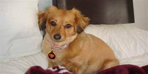 dachshund and pomeranian dameranian pomeranian x dachshund mix info temperament pictures