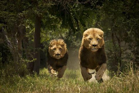 imagenes de leones asesinos los leones del tsavo blog viajero astuto el pa 205 s