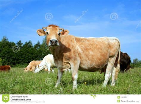 la espaa vaca viaje b01dkun97c vaca holandesa en el pasto 03 imagen de archivo imagen 2591931