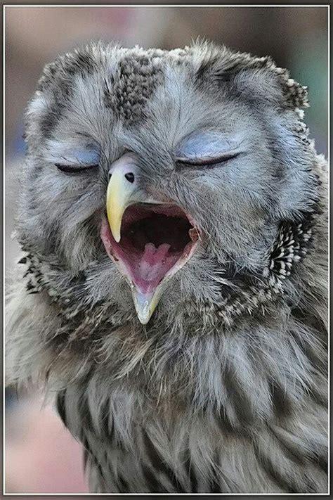 Sleepy Owl sleepy owl owls