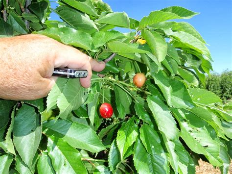 cherry tree not producing fruit xtremehorticulture of the desert low chill cherries and