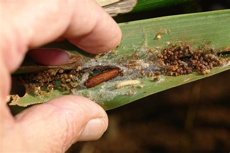 palm gardens pest leafroller how to treat plants affected by