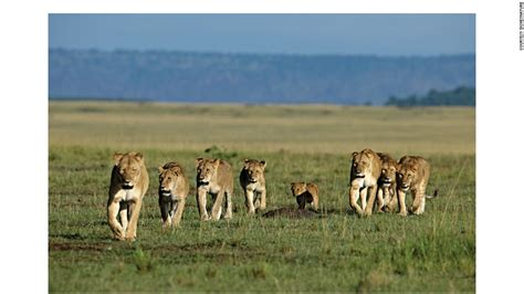 lion film pride real life lion kings african big cats caught on film