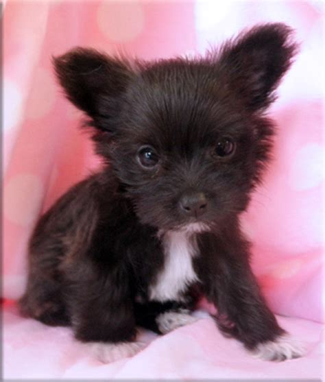 maltese chihuahua mix puppies pictures of maltese chihuahua mix breeds picture