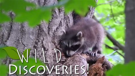how to get rid of raccoons in backyard 100 how to get rid of raccoons in my backyard my east