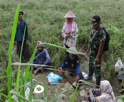 Cacing Di Sawah pembuatan talut cacing untuk pengairan sawah oleh petani