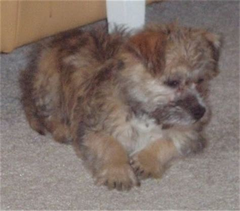 havanese pug mix cairn terrier mix pictures photos pics images gallery breed breeds picture