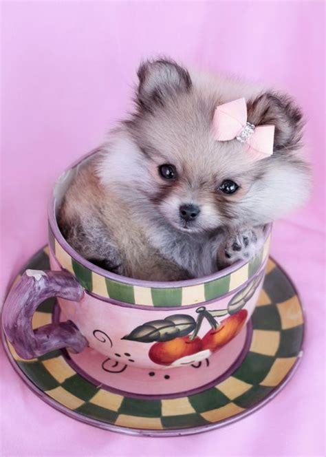 teacup puppies for sale in florida teacup puppies for sale at teacups puppies and boutique