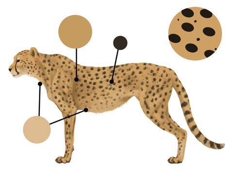 what color is a cheetah how to draw animals big cats their anatomy and patterns