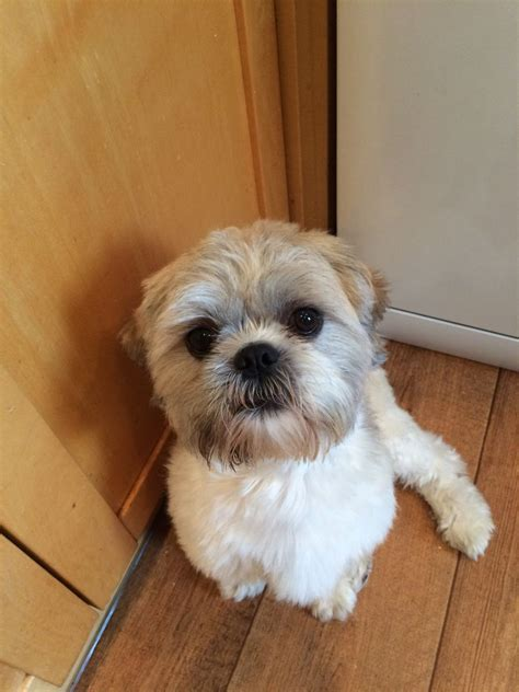 shih tzu for stud beautiful shih tzu stud hemel hempstead hertfordshire pets4homes