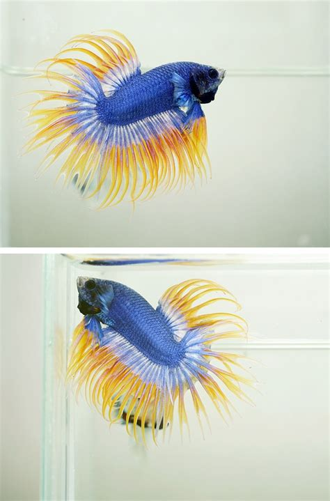Ikan Cupang Crowntail Royal Blue pattern royal blue crowntail fancy bettas auction cgi and royal blue