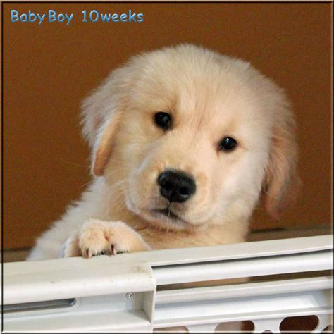 golden retriever puppies nashville tn golden retriever breeders of tennessee quot check here for quality golden retriever