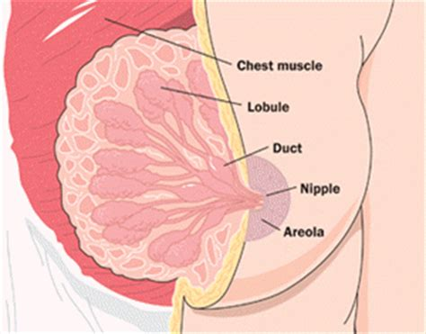 diagram of the breast reproductive system how it works pictures
