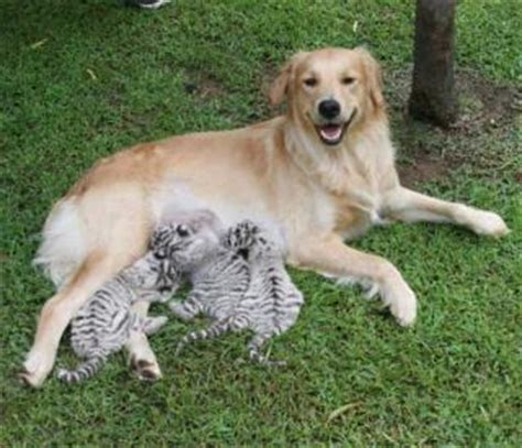 golden retriever blanco una perrita de raza golden retriever adopta a tres cachorros de tigre blanco
