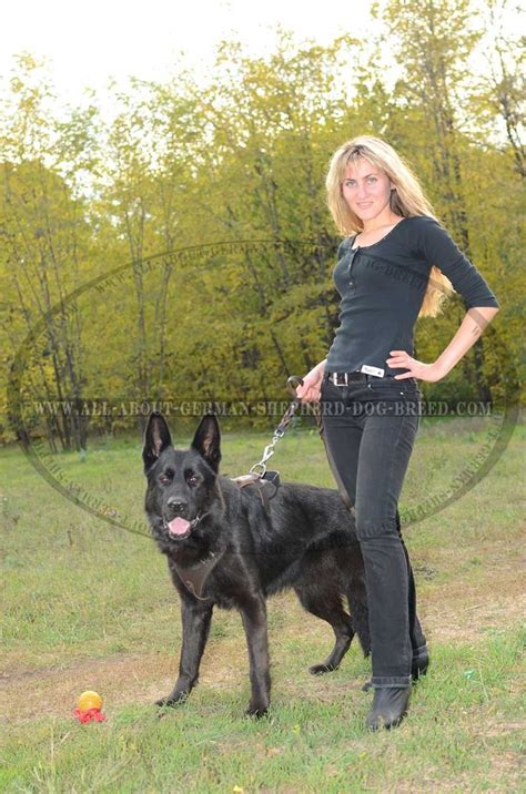 how to a german shepherd to attack german shepherd protection attack leather harness 54 90 www all about