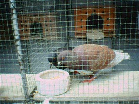 Harga Pakan Burung Merpati foto gambar burung