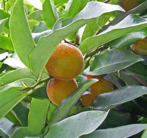 Tanaman Buah Kanistelsawo Mentega bisbul si pohon buah mentega yang makin dilupa alamendah s