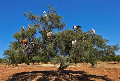 Moroccan Art History by Photos Of Argan Trees And Climbing Goats Of Morocco Funky Stock Photos