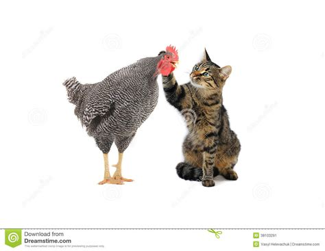 and cat cat and rooster stock image image 38103291