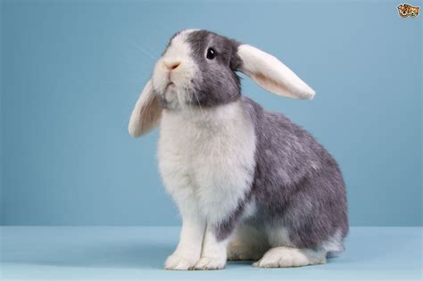 pet varieties popular pet rabbit breeds