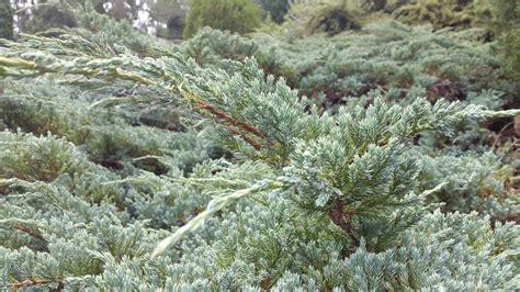 Juniperus Blue Rug by Juniperus Wiltonii Blue Rug Alpine Nurseries