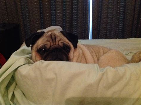 pug in bed but i don t want to get out of bed today about pug