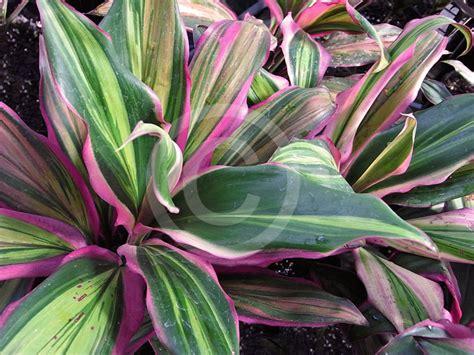 cordyline fruticosa kiwi ti plant information