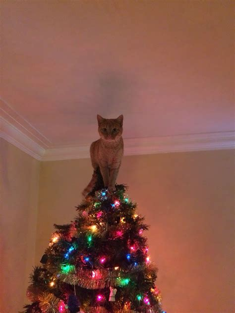 cat on top of christmas tree meme 15 cats helping decorate trees bored panda