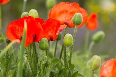 papavero fiore papavero da oppio piante perenni coltivazione papavero