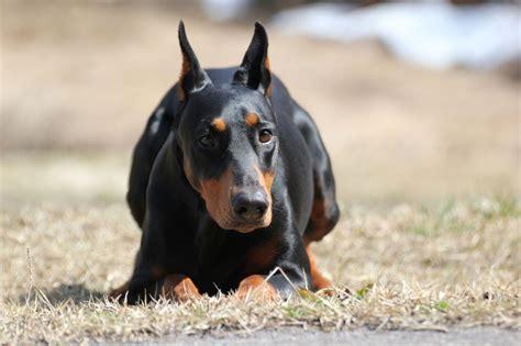 alkaline phosphatase high in dogs elevated alkaline phosphatase in dogs