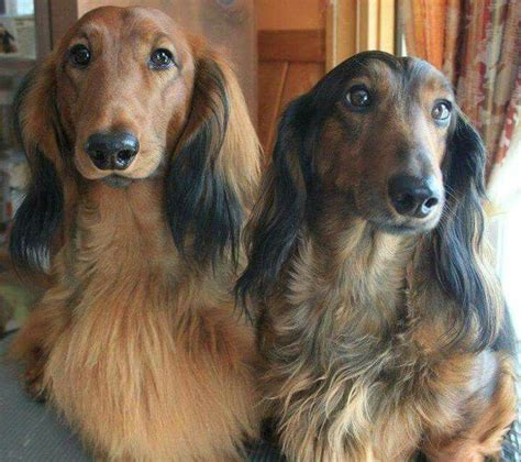 haired weenie 925 best images about daschunds on weenie dogs and sausage dogs