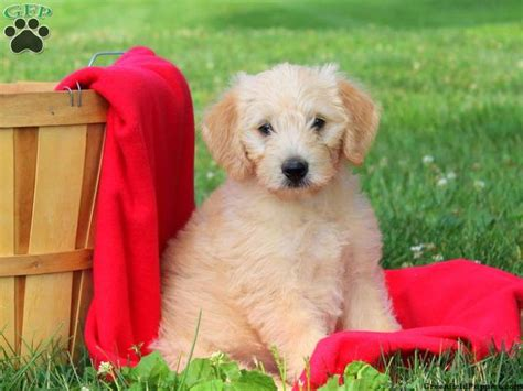 mini labradoodles oregon 1000 ideas about labradoodle puppies for sale on