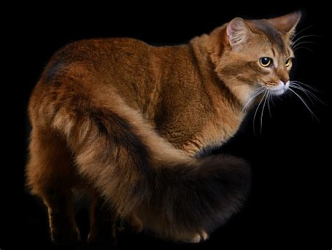 The Somali Cat   Cat Breeds Encyclopedia
