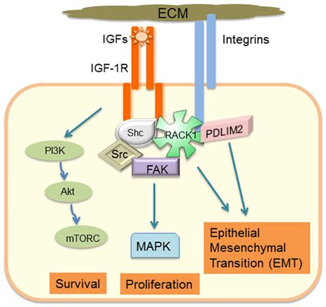 protein 4 1r frontiers igf 1 receptor and adhesion signaling an