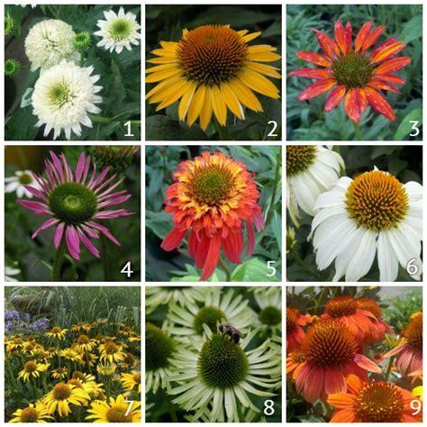 118 best images about garden coneflowers echinacea colors on pinterest gardens meringue