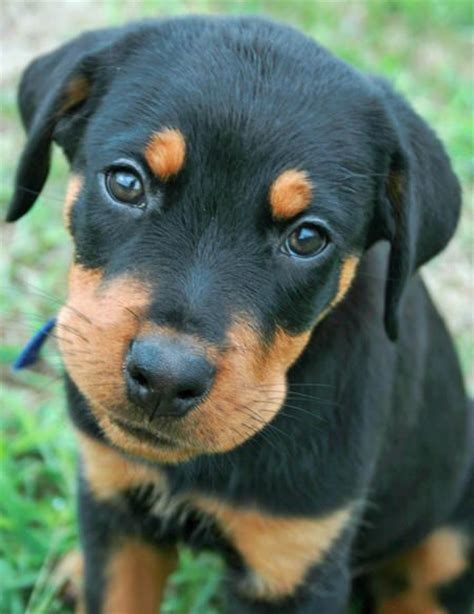 baby rottweiler 25 best ideas about baby rottweiler on rottweiler puppies rottweiler
