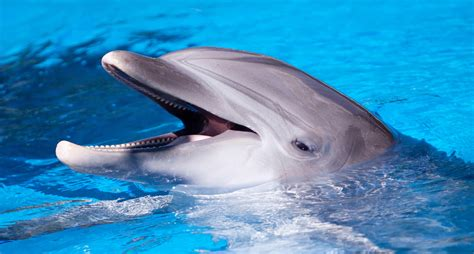 Dolphin Blowfish Detox Vidio by Dolphins Chew On Pufferfish To Get High