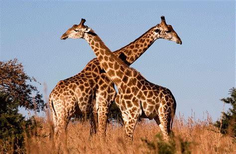 ver imagenes jirafas donde viven las jirafas que comen como nacen