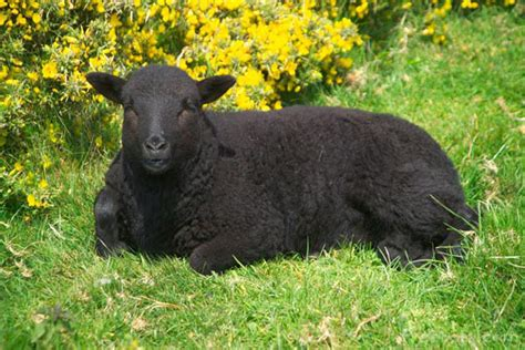 black sheep this or that black sheep dog mundabor s blog