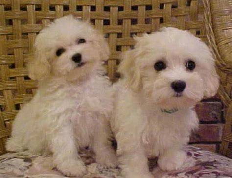 havanese puppies for sale in ohio the 25 best havanese puppies for sale ideas on havanese for sale