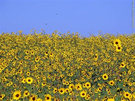 sunflowers in kansas 17 best images about home sweet home on pinterest dr oz