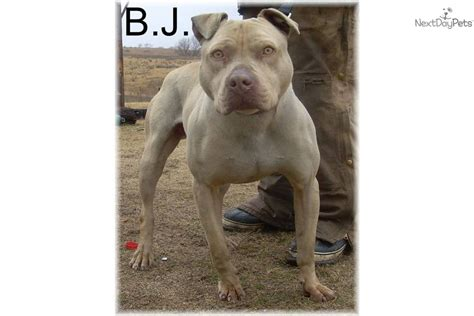 pitbull puppies for sale in nebraska grand chion apbt related keywords grand chion apbt