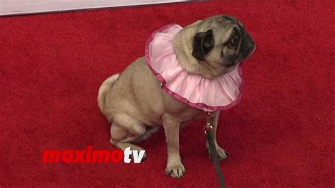 the nut pug precious the pug quot the nut quot los angeles premiere carpet arrivals
